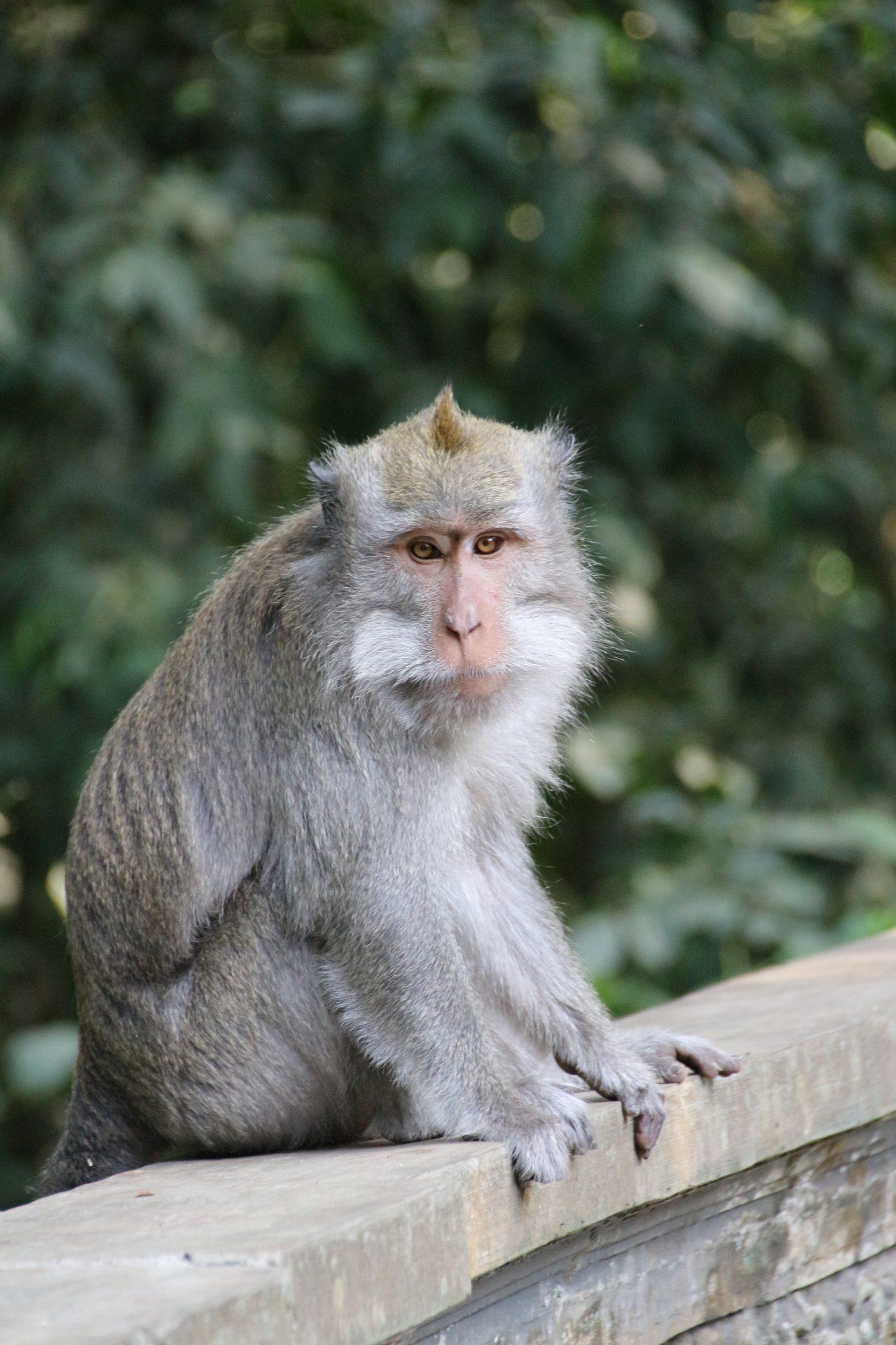 Monkey at the Alas Kedaton Monkey Forest