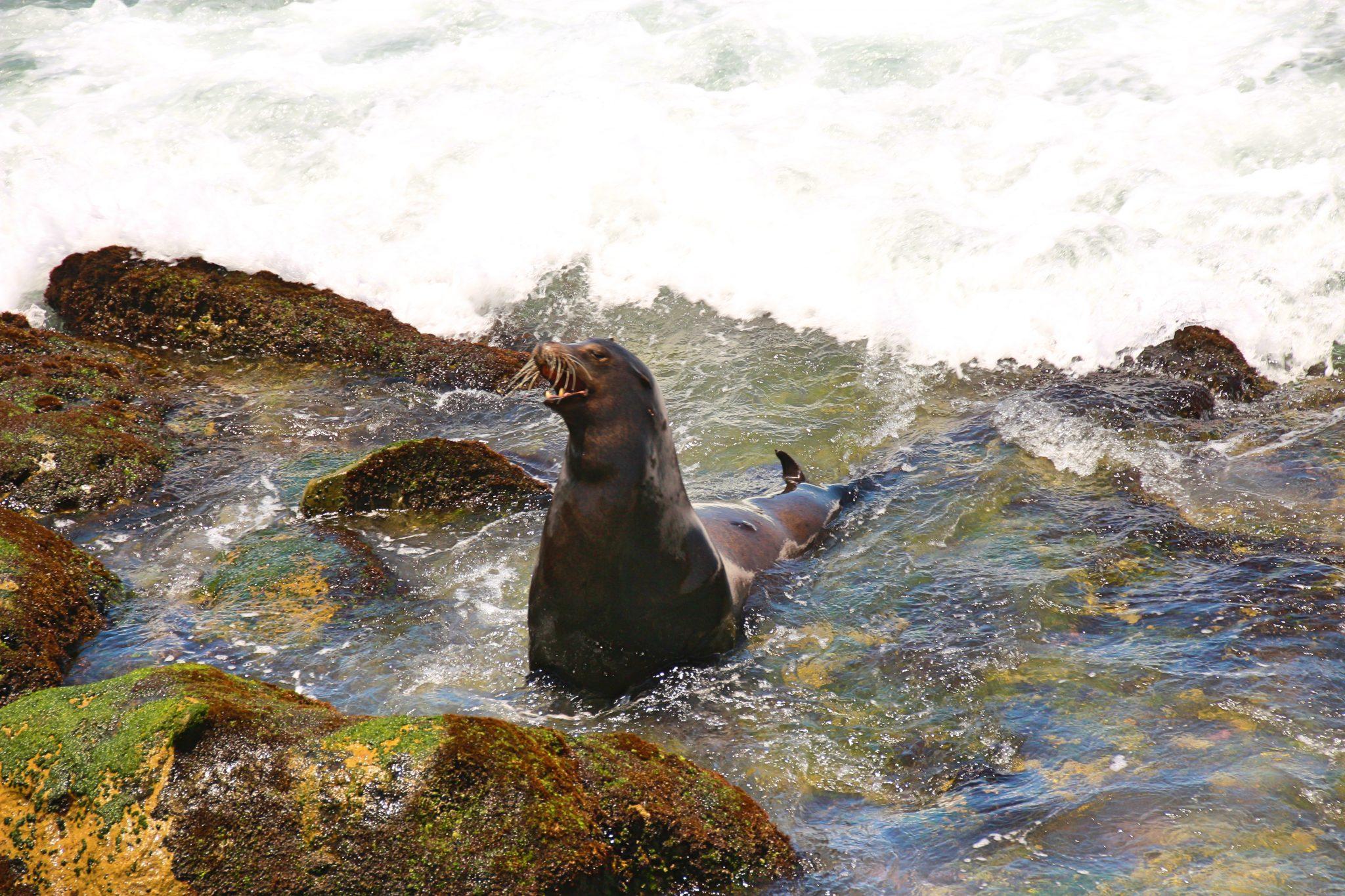 Seal at La Jolla, San Diego, California