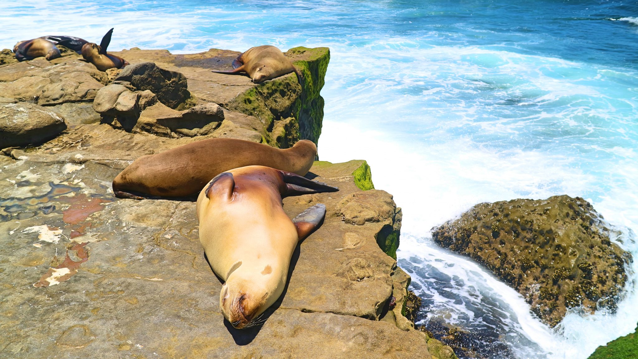 Seals at La Jolla, San Diego, California