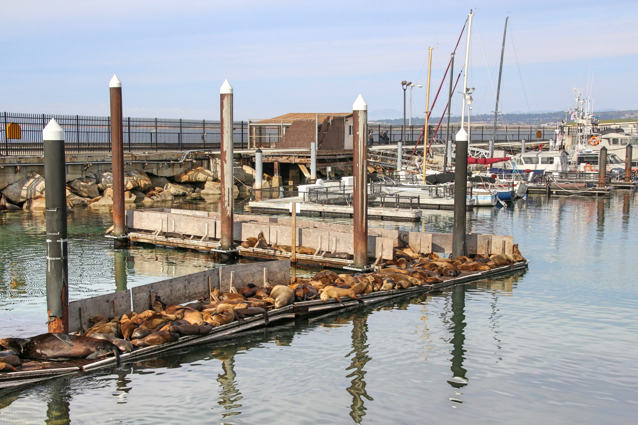 Sea Lion at Monterey Marina, California